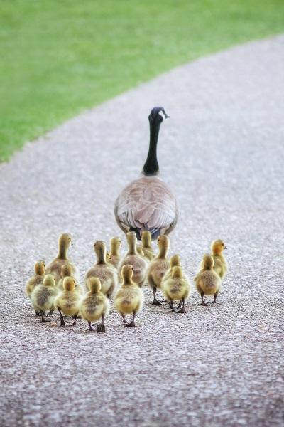 親鳥の後を追いかける雛鳥の写真