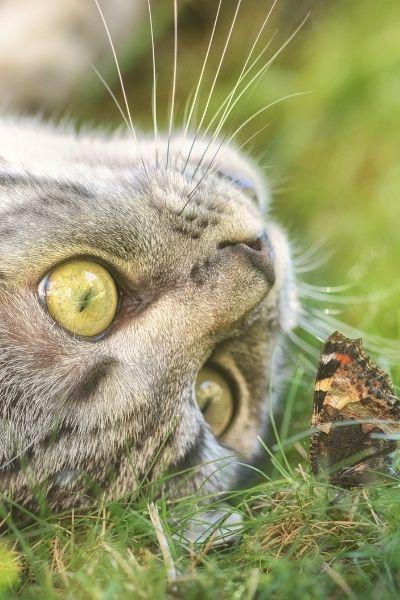 目先の蝶を見つめるネコの写真